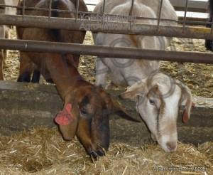 Курс разведение мелкого рогатого скота. Разведение коз